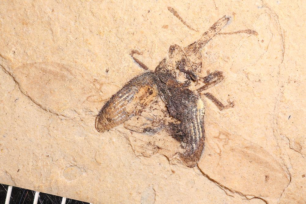 http://mczbase.mcz.harvard.edu/specimen_images/entomology/paleo/large/PALE-1753_Magdalinus_protogenius_type_2.jpg