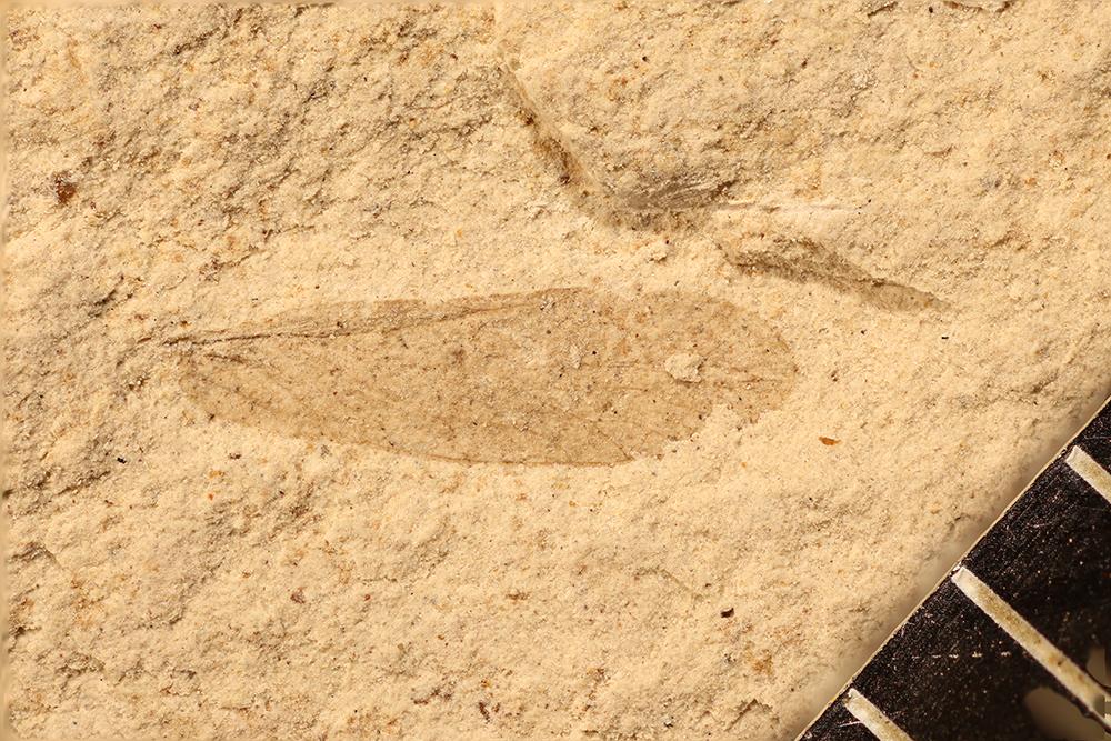 http://mczbase.mcz.harvard.edu/specimen_images/entomology/paleo/large/PALE-17545_Psocoptera.jpg