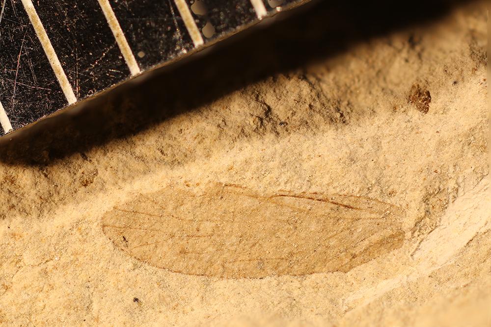 http://mczbase.mcz.harvard.edu/specimen_images/entomology/paleo/large/PALE-17546_Psocoptera.jpg