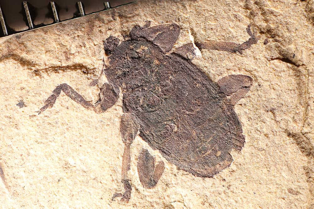 http://mczbase.mcz.harvard.edu/specimen_images/entomology/paleo/large/PALE-1754_Larinus_bronni_type_1_(cp_1748).jpg