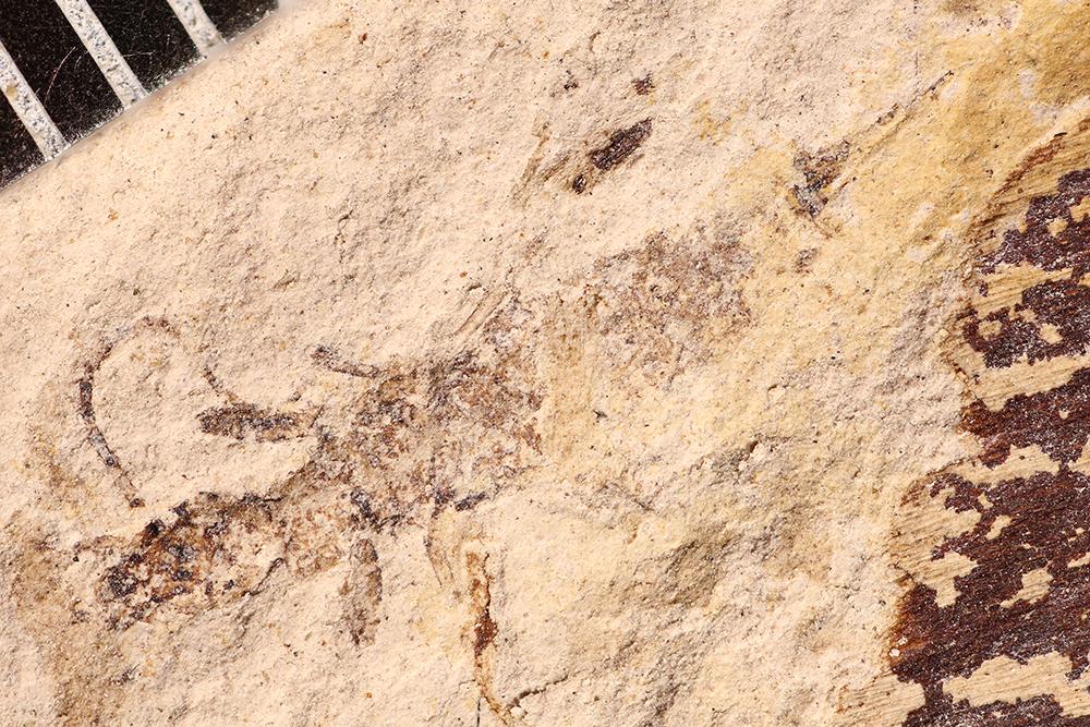 http://mczbase.mcz.harvard.edu/specimen_images/entomology/paleo/large/PALE-17564_Eoblattida.jpg