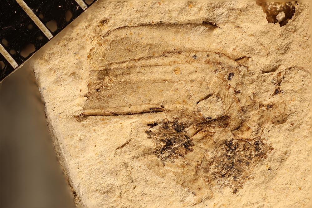 http://mczbase.mcz.harvard.edu/specimen_images/entomology/paleo/large/PALE-17584b_Arthropoda.jpg