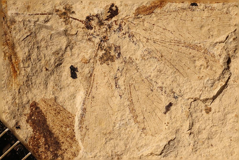 http://mczbase.mcz.harvard.edu/specimen_images/entomology/paleo/large/PALE-17600_Probnidae.jpg