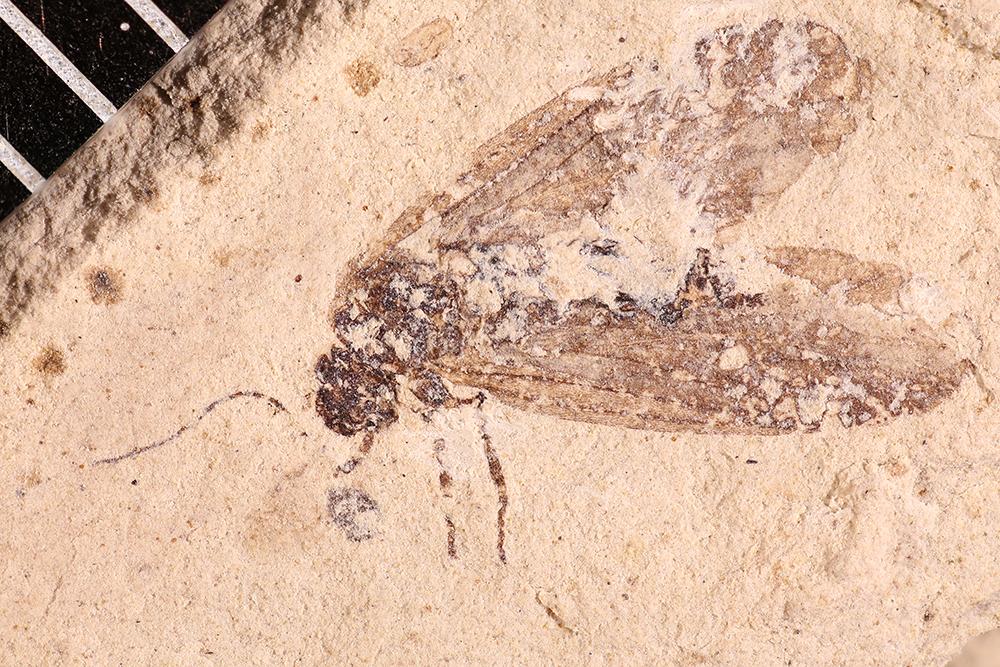 http://mczbase.mcz.harvard.edu/specimen_images/entomology/paleo/large/PALE-17646_Lemmatophoridae.jpg