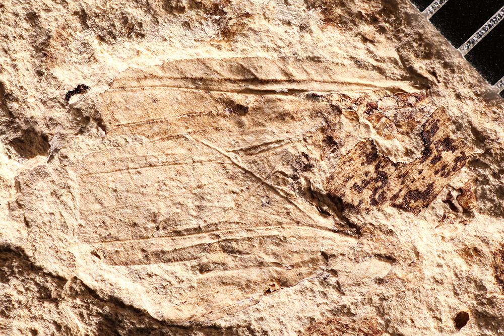 http://mczbase.mcz.harvard.edu/specimen_images/entomology/paleo/large/PALE-17647_Grylloblattodea.jpg