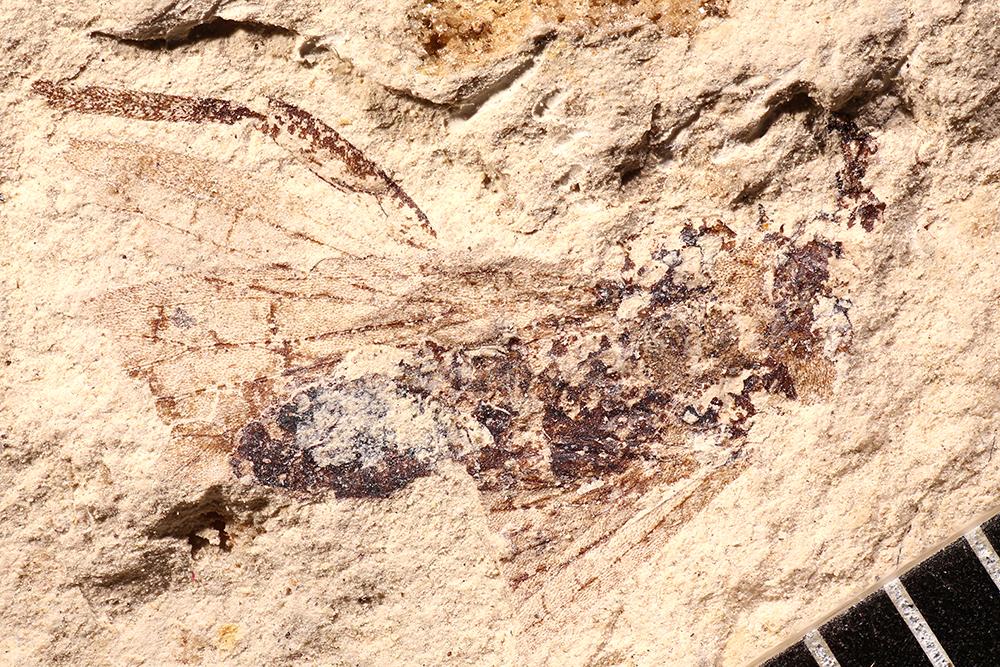 http://mczbase.mcz.harvard.edu/specimen_images/entomology/paleo/large/PALE-17655_Grylloblattodea.jpg