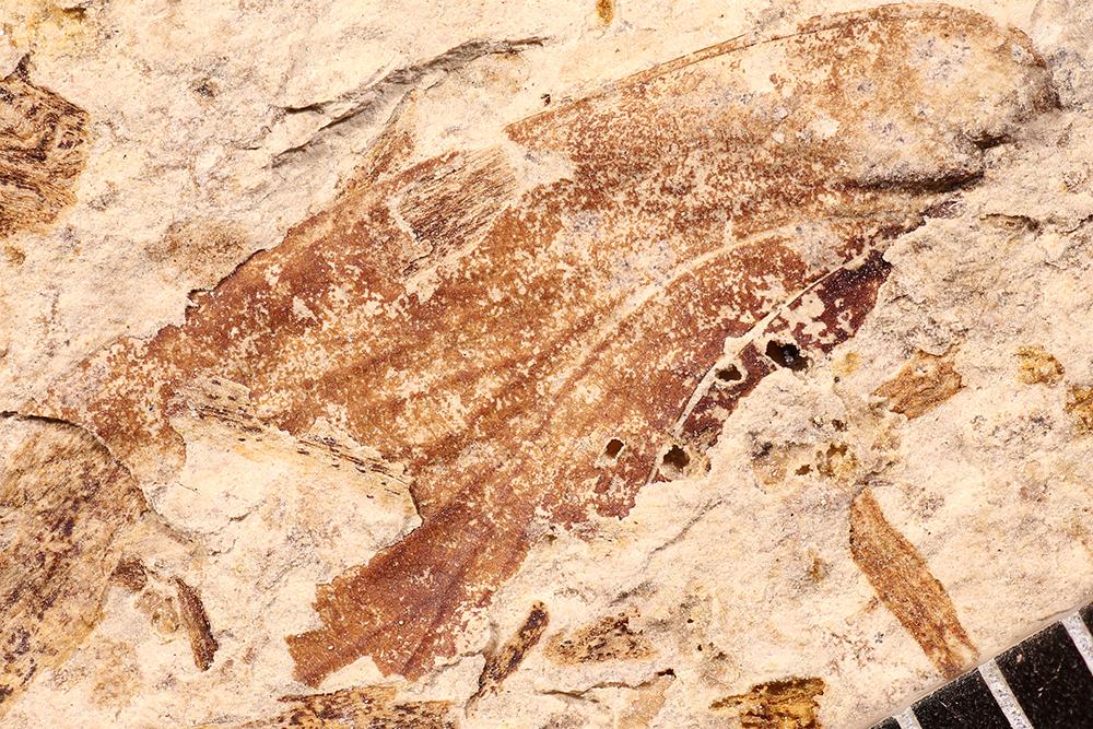 http://mczbase.mcz.harvard.edu/specimen_images/entomology/paleo/large/PALE-17659_Blattaria.jpg