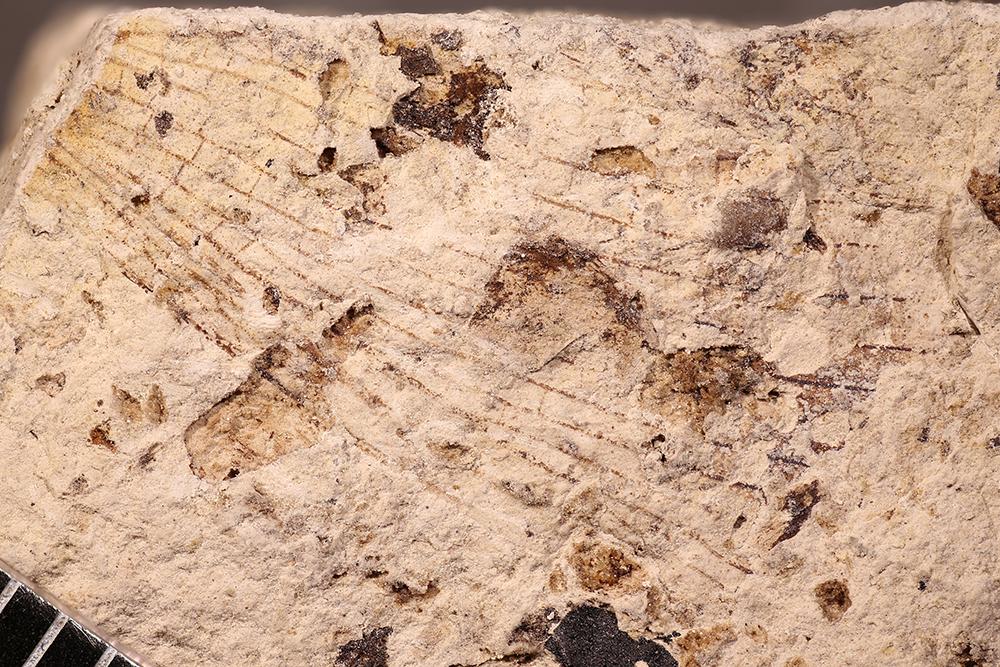 http://mczbase.mcz.harvard.edu/specimen_images/entomology/paleo/large/PALE-17660_Strephocladidae.jpg
