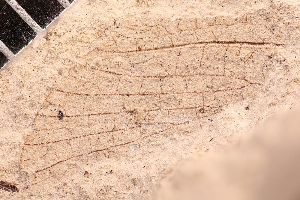 http://mczbase.mcz.harvard.edu/specimen_images/entomology/paleo/large/PALE-17685_Pterygota.jpg