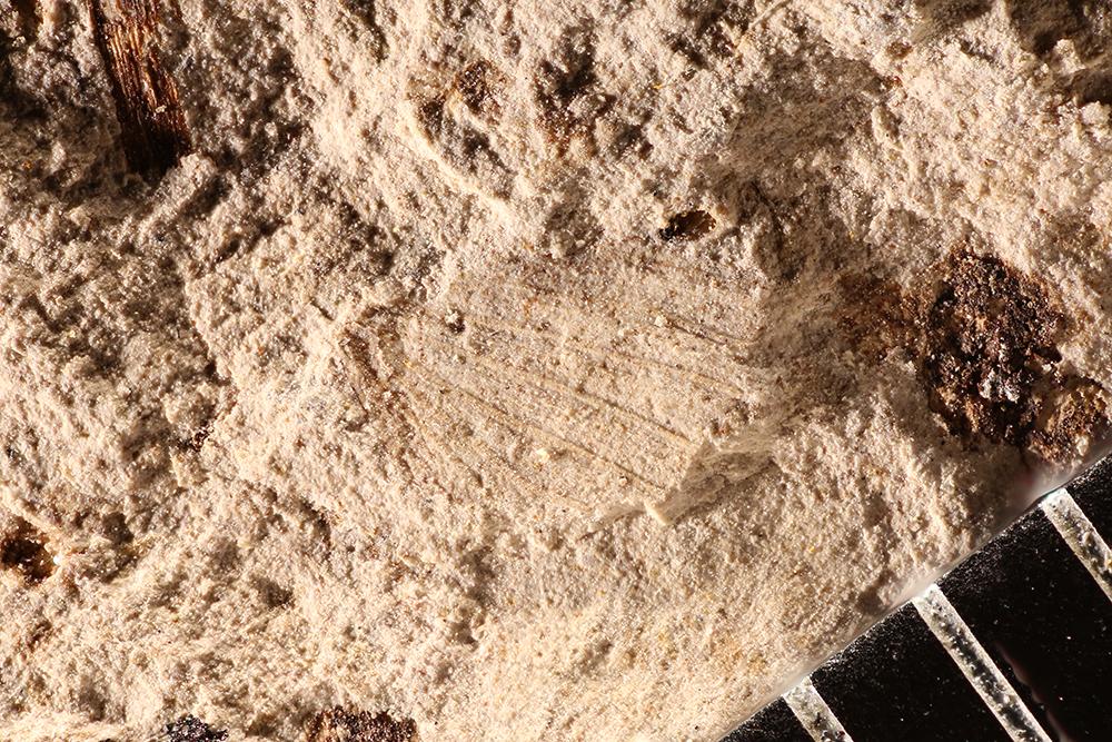 http://mczbase.mcz.harvard.edu/specimen_images/entomology/paleo/large/PALE-17705_Orthoptera_qm.jpg