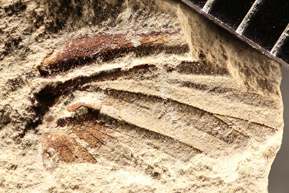 http://mczbase.mcz.harvard.edu/specimen_images/entomology/paleo/large/PALE-17732_Pterygota.jpg