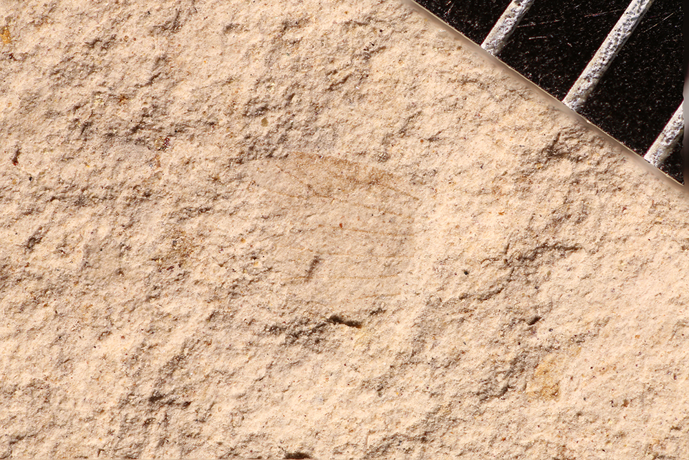 http://mczbase.mcz.harvard.edu/specimen_images/entomology/paleo/large/PALE-17736_Miomoptera.jpg