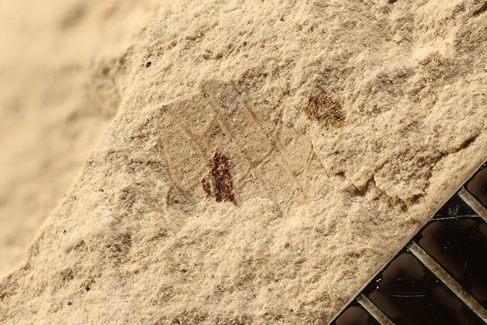 http://mczbase.mcz.harvard.edu/specimen_images/entomology/paleo/large/PALE-17745_Pterygota.jpg