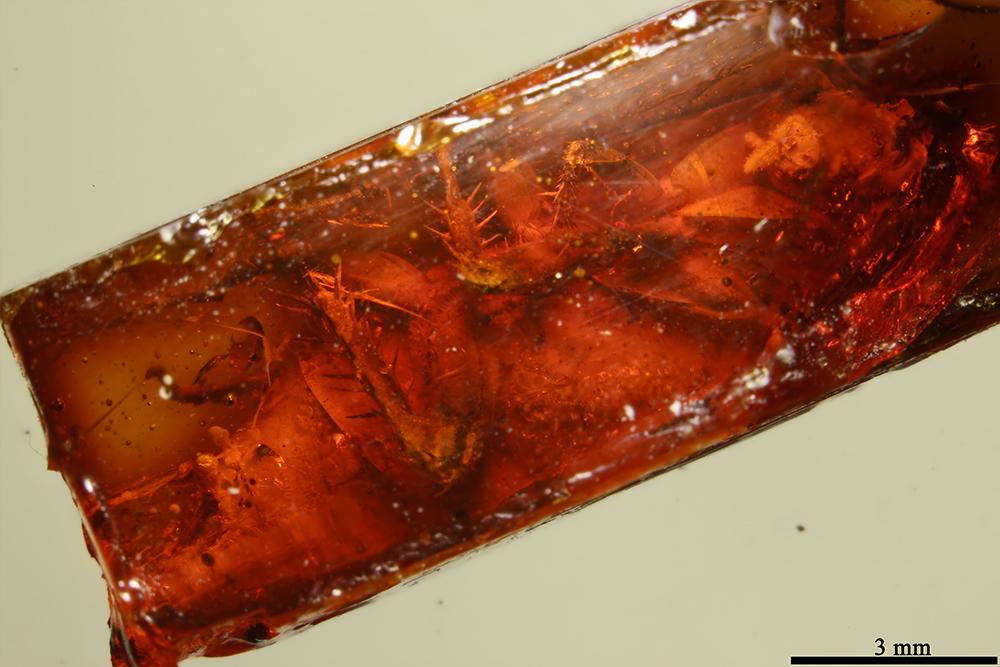 http://mczbase.mcz.harvard.edu/specimen_images/entomology/paleo/large/PALE-17773_Blattaria.jpg