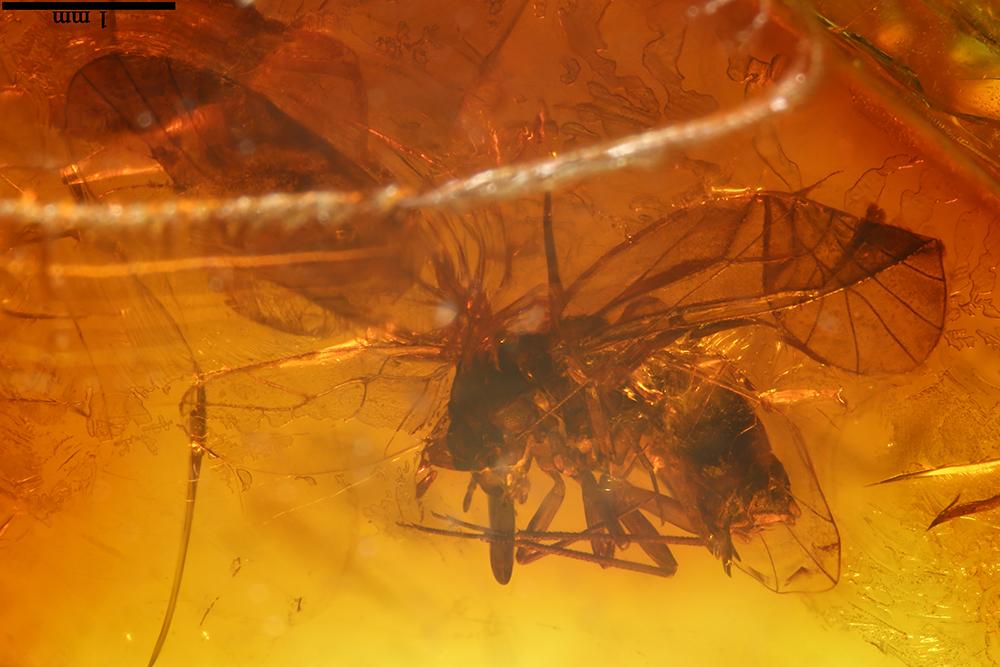 http://mczbase.mcz.harvard.edu/specimen_images/entomology/paleo/large/PALE-17788_Psocoptera.jpg