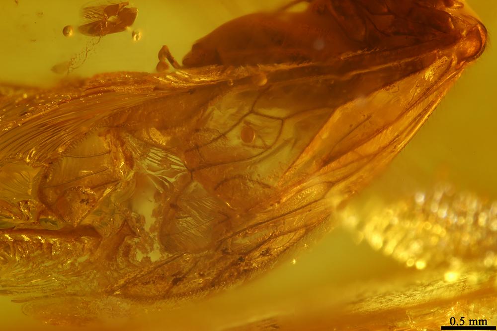 http://mczbase.mcz.harvard.edu/specimen_images/entomology/paleo/large/PALE-17794_Psocoptera_1.jpg
