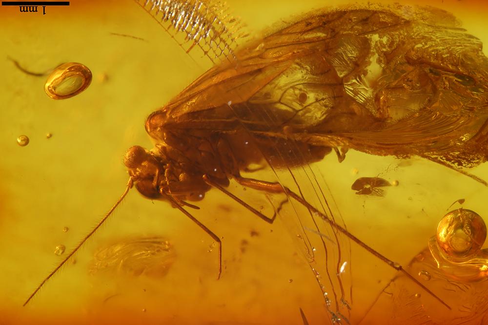 http://mczbase.mcz.harvard.edu/specimen_images/entomology/paleo/large/PALE-17794_Psocoptera_2.jpg