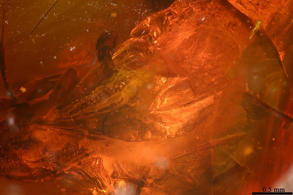 http://mczbase.mcz.harvard.edu/specimen_images/entomology/paleo/large/PALE-17795_Psocoptera_1.jpg
