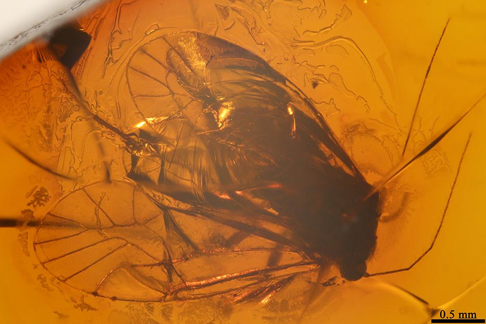 http://mczbase.mcz.harvard.edu/specimen_images/entomology/paleo/large/PALE-17802_Psocoptera.jpg