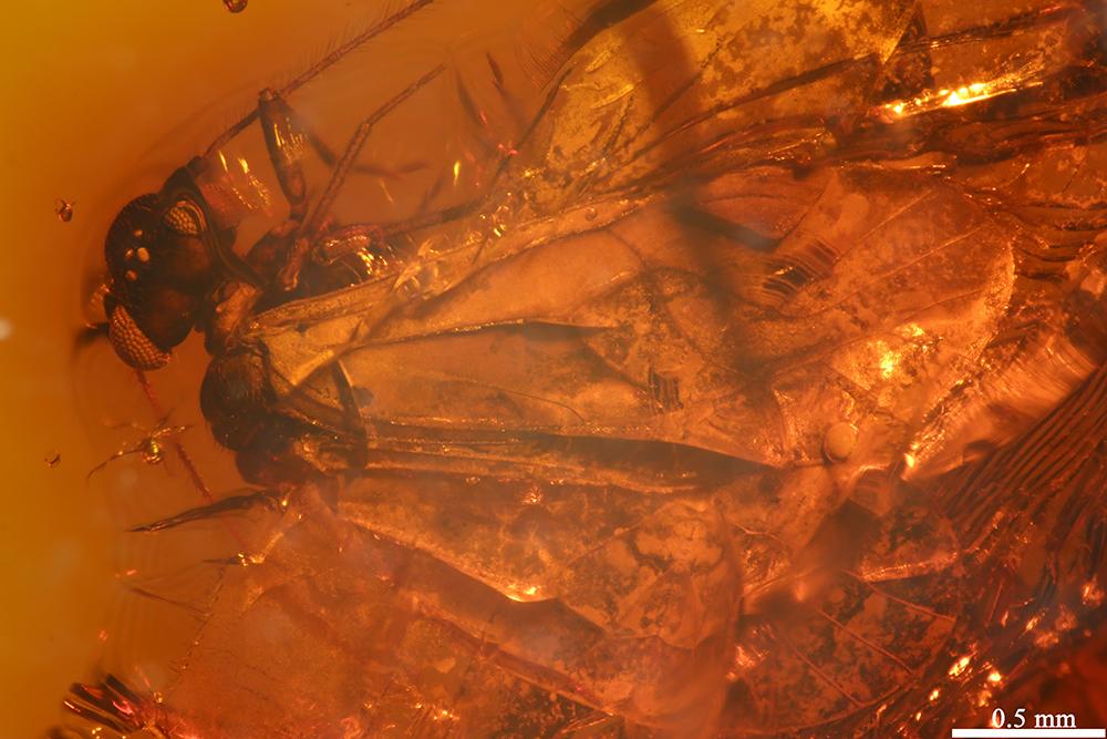 http://mczbase.mcz.harvard.edu/specimen_images/entomology/paleo/large/PALE-17808_Psocoptera_1.jpg
