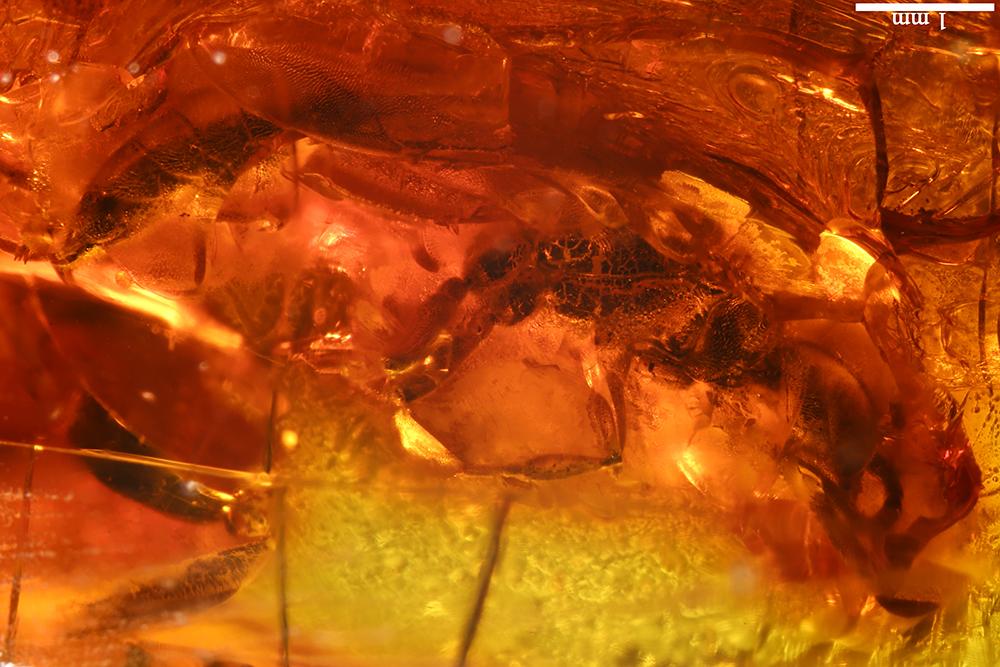 http://mczbase.mcz.harvard.edu/specimen_images/entomology/paleo/large/PALE-17815_Hymenoptera_1.jpg