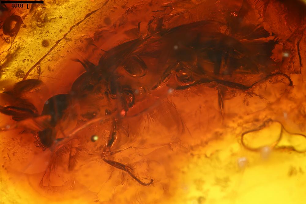 http://mczbase.mcz.harvard.edu/specimen_images/entomology/paleo/large/PALE-17819_Hymenoptera_1.jpg