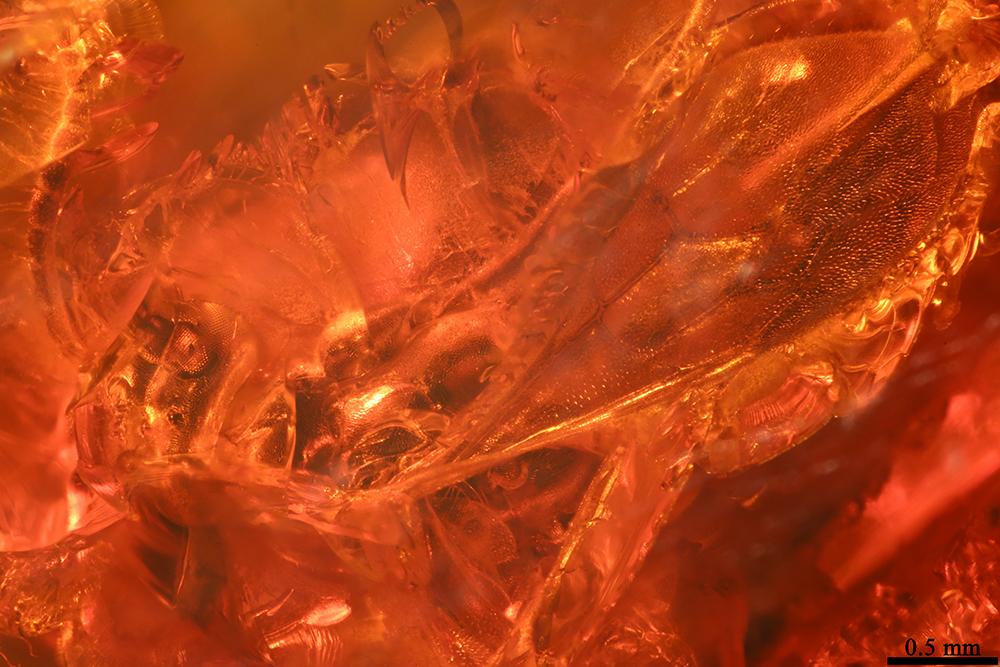 http://mczbase.mcz.harvard.edu/specimen_images/entomology/paleo/large/PALE-17821_Hymenoptera.jpg