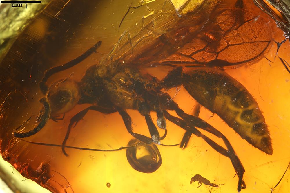 http://mczbase.mcz.harvard.edu/specimen_images/entomology/paleo/large/PALE-17826_Hymenoptera.jpg