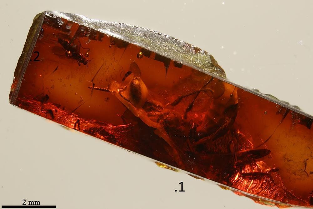 http://mczbase.mcz.harvard.edu/specimen_images/entomology/paleo/large/PALE-17837_Hymenoptera.jpg