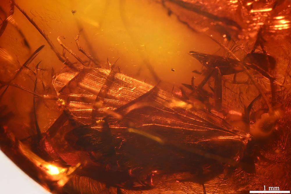 http://mczbase.mcz.harvard.edu/specimen_images/entomology/paleo/large/PALE-17845_Trichoptera.jpg
