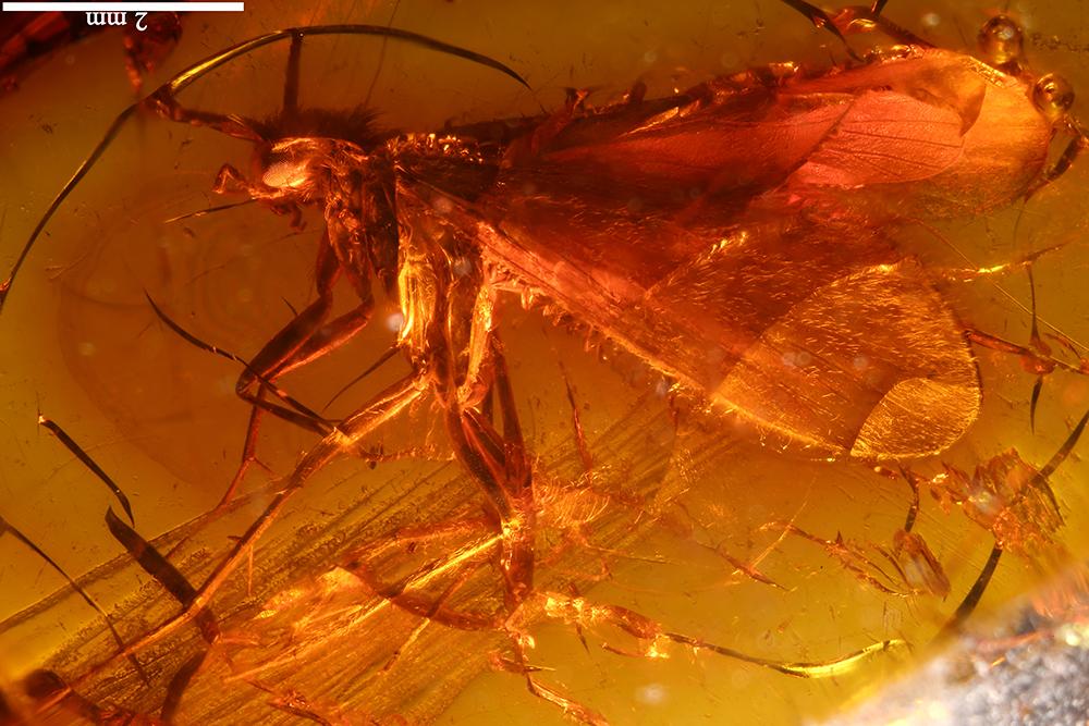 http://mczbase.mcz.harvard.edu/specimen_images/entomology/paleo/large/PALE-17847_Trichoptera.jpg
