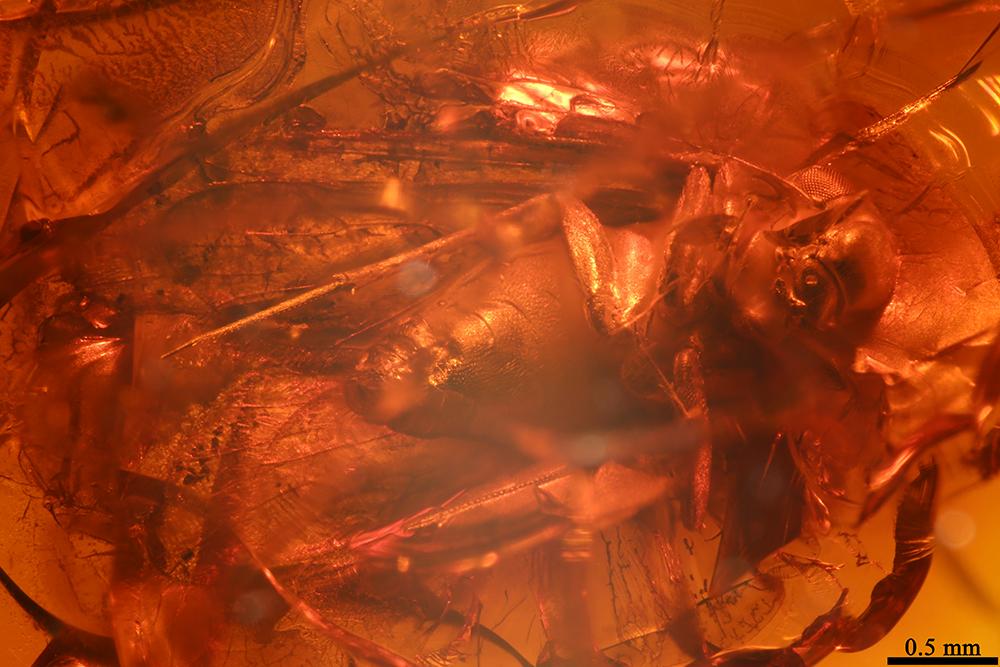 http://mczbase.mcz.harvard.edu/specimen_images/entomology/paleo/large/PALE-17851_Lepidopsocidae_2.jpg