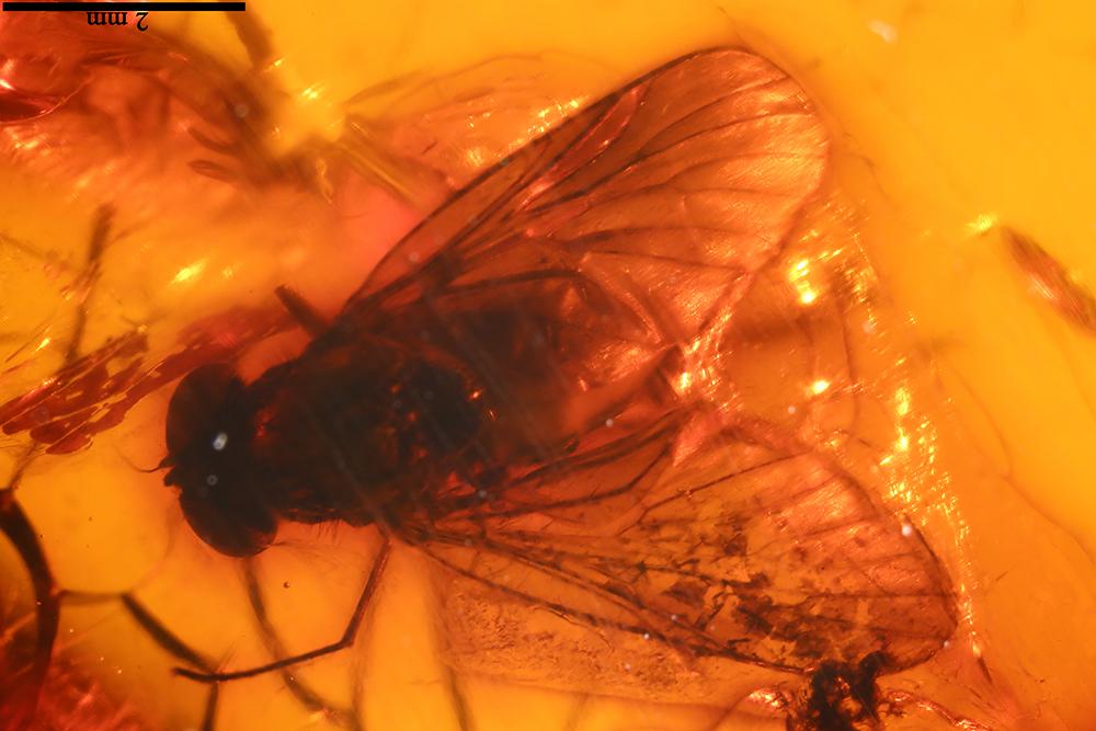 http://mczbase.mcz.harvard.edu/specimen_images/entomology/paleo/large/PALE-17853_Tabanoidea.jpg