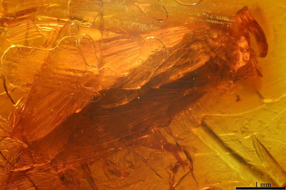 http://mczbase.mcz.harvard.edu/specimen_images/entomology/paleo/large/PALE-17868_Trichoptera.jpg