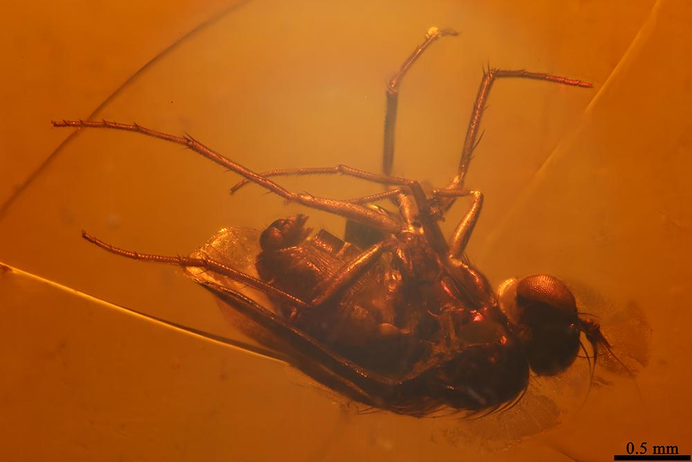 http://mczbase.mcz.harvard.edu/specimen_images/entomology/paleo/large/PALE-18483_Dolichopodidae_1.jpg