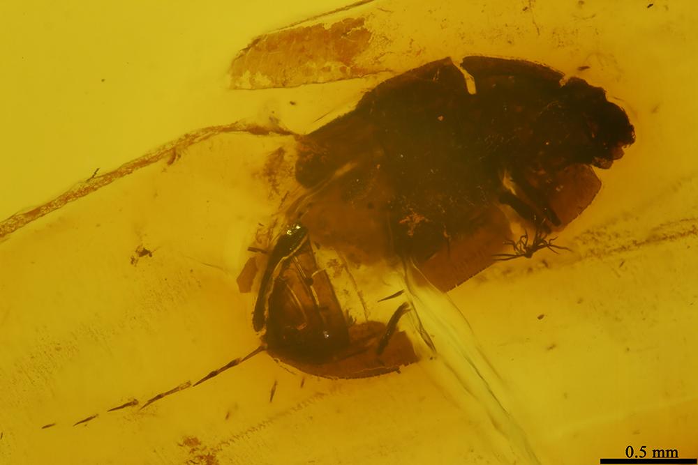 http://mczbase.mcz.harvard.edu/specimen_images/entomology/paleo/large/PALE-19286_Coleoptera.jpg