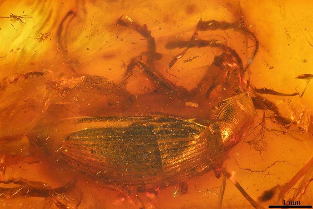 http://mczbase.mcz.harvard.edu/specimen_images/entomology/paleo/large/PALE-19288_Tenebrionidae.jpg