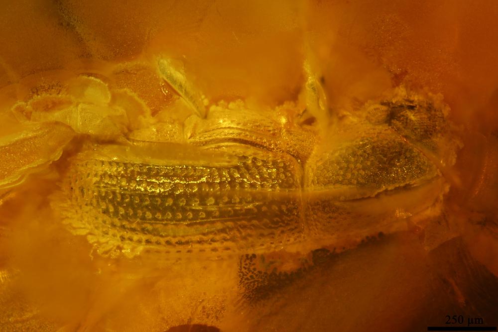 http://mczbase.mcz.harvard.edu/specimen_images/entomology/paleo/large/PALE-19301_Scolytidae.jpg
