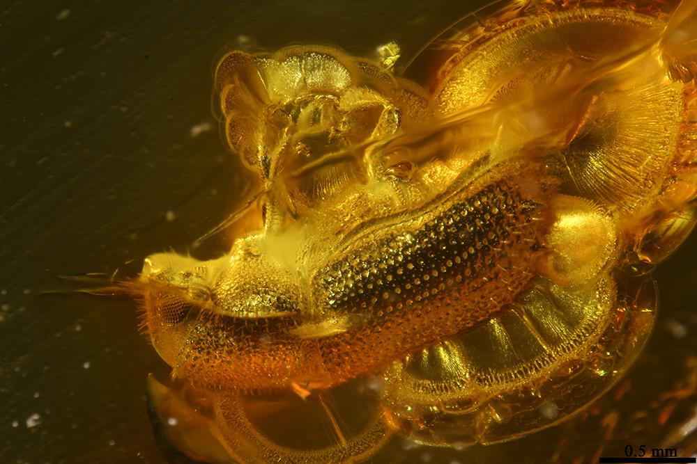 http://mczbase.mcz.harvard.edu/specimen_images/entomology/paleo/large/PALE-19302_Scolytidae.jpg