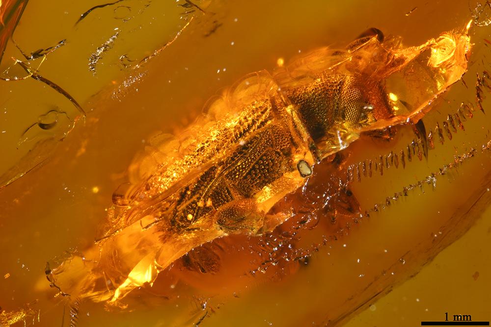 http://mczbase.mcz.harvard.edu/specimen_images/entomology/paleo/large/PALE-19304_Scolytidae.jpg