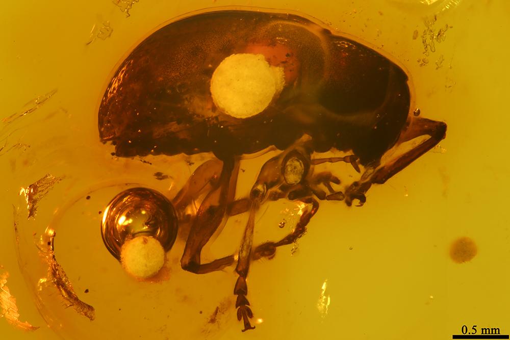 http://mczbase.mcz.harvard.edu/specimen_images/entomology/paleo/large/PALE-19316_Eumolpinae.jpg