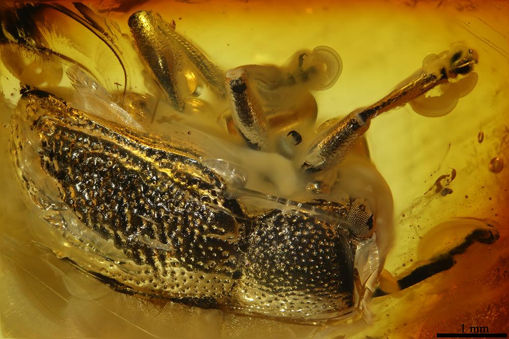 http://mczbase.mcz.harvard.edu/specimen_images/entomology/paleo/large/PALE-19317_Eumolpinae.jpg