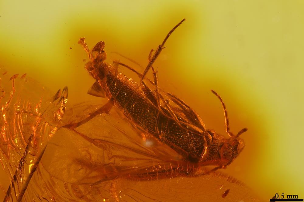 http://mczbase.mcz.harvard.edu/specimen_images/entomology/paleo/large/PALE-19321_Scraptiidae_qm.jpg