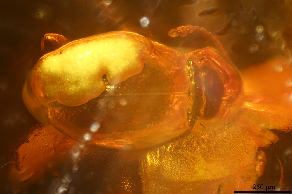 http://mczbase.mcz.harvard.edu/specimen_images/entomology/paleo/large/PALE-19396_Scydmaeninae.jpg