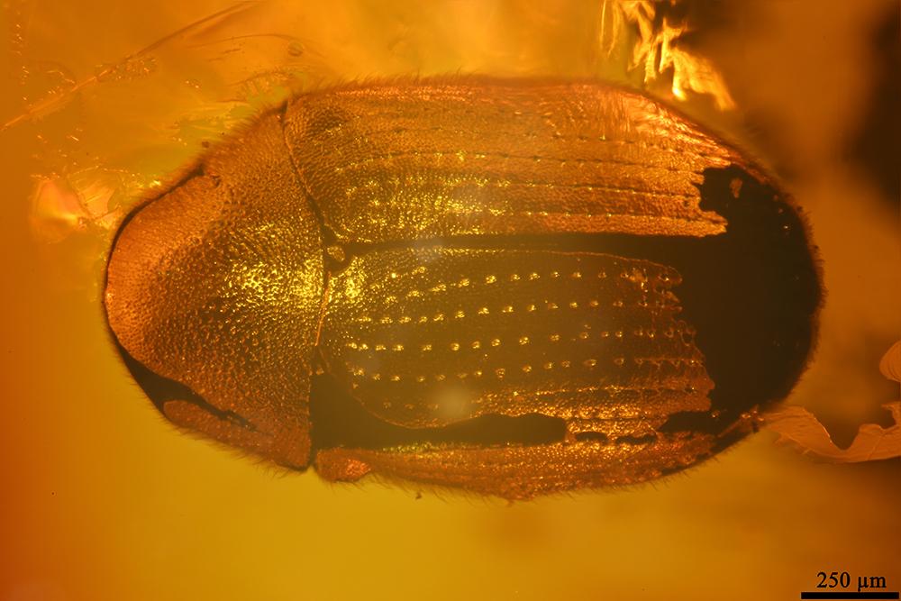 http://mczbase.mcz.harvard.edu/specimen_images/entomology/paleo/large/PALE-19428_Anobiidae.jpg