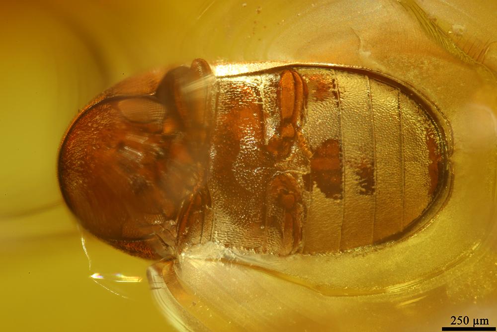 http://mczbase.mcz.harvard.edu/specimen_images/entomology/paleo/large/PALE-19433_Anobiidae.jpg