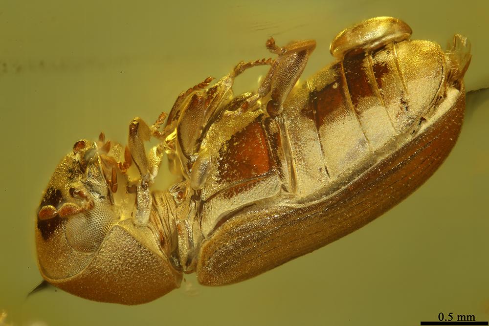 http://mczbase.mcz.harvard.edu/specimen_images/entomology/paleo/large/PALE-19435_Anobiidae.jpg