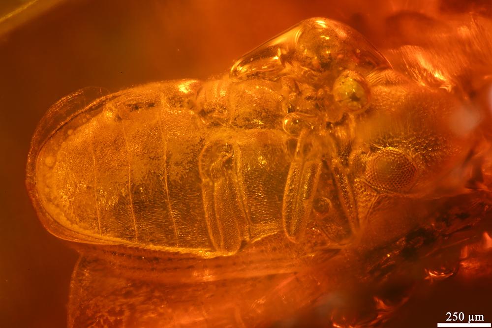 http://mczbase.mcz.harvard.edu/specimen_images/entomology/paleo/large/PALE-19437_Anobiidae.jpg
