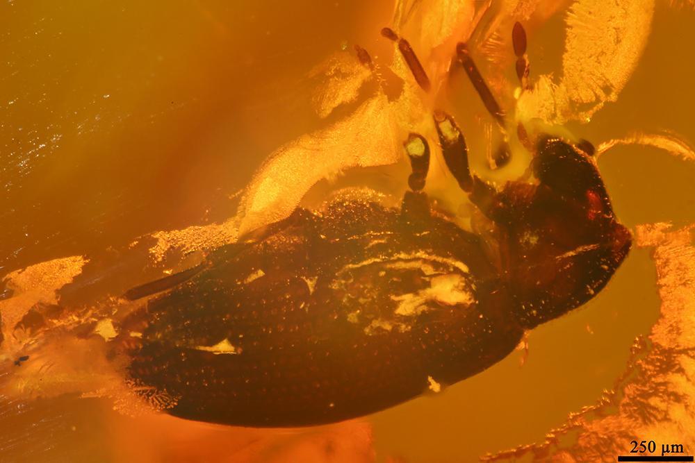 http://mczbase.mcz.harvard.edu/specimen_images/entomology/paleo/large/PALE-19439_Anobiidae.jpg