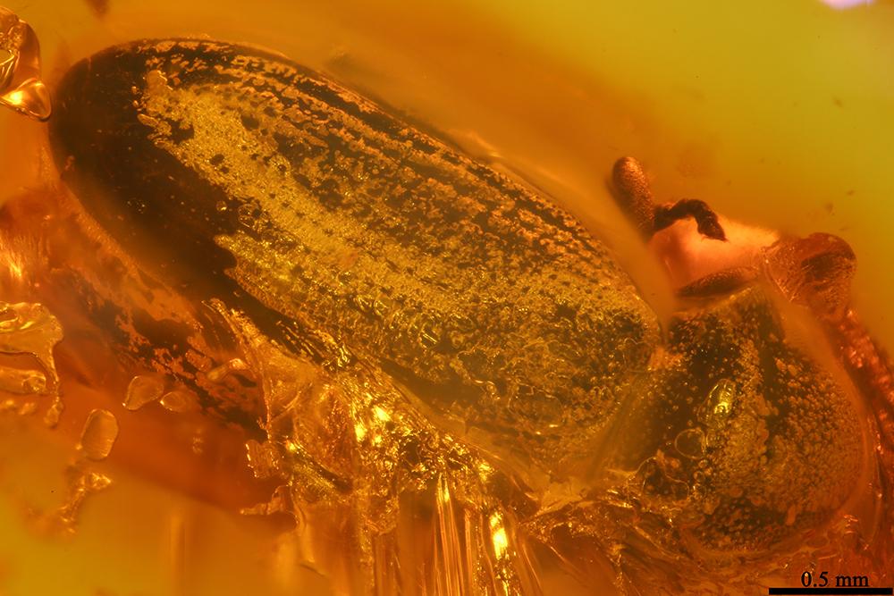 http://mczbase.mcz.harvard.edu/specimen_images/entomology/paleo/large/PALE-19446_Anobiidae.jpg